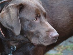picture of the brown Labrador Dog