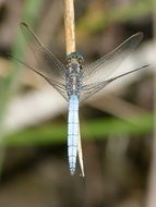 blue dragonfly near the pond