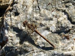 dragonfly on a gray stone