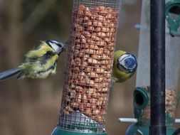 two tits on the feeder