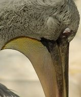profile portrait of a pelican