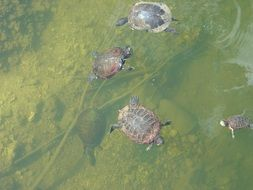 cute turtles swim in the pond
