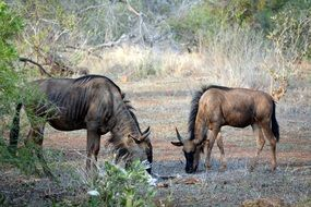 wild animals in the natural environment in kruger park in africa
