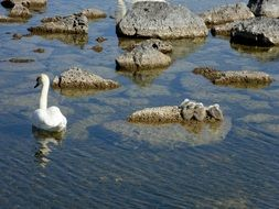swan swims among stones in a lake