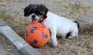 cute playful black and white dog with football