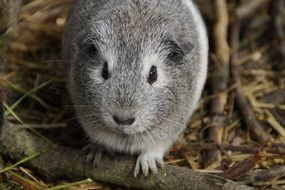 cuddly grey guinea pig with button eyes