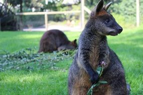 small wallaby