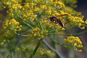wasp on dill flower