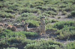 two steppe dogs in the desert