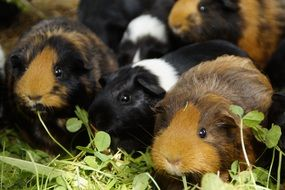 Guinea Pigs on grass, Cute Rodents