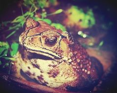 Giant Neotropical Toad in water