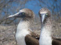 pair of blue-headed booby in fauna