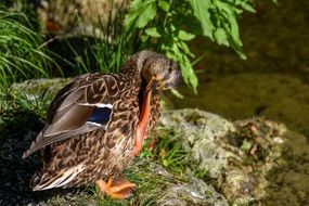 Mallard cleans feathers on a stone