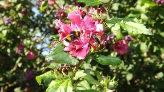 Bumblebees Mallow Insect Blossom