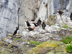 wild puffins on the cliff
