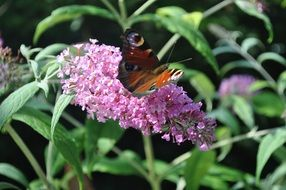 summer butterfly on a pink flower