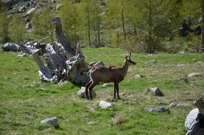 chamois in the alp mountains