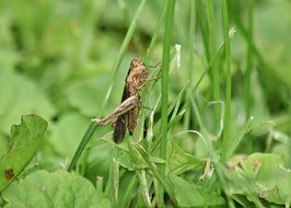 Closeup photo of Grasshopper on a green grass