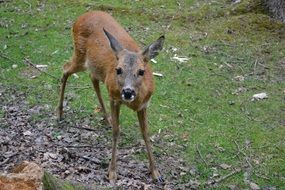 young roe deer in wild nature
