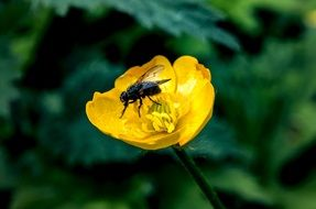 black fly on a yellow flower