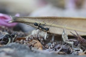 busy black ant