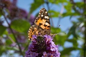 butterfly on the lilac flowers