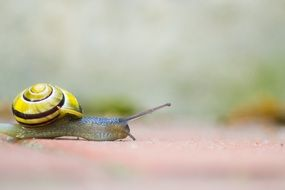 crawling snail with yellow shell