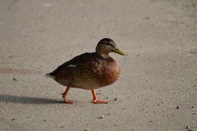 duck on the asphalt path