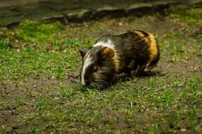 three color guinea pig