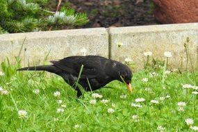 foraging male blackbird