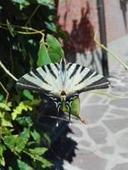 moth with beautiful black and white wings