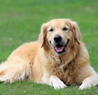 strikingly beautiful Golden Retriever
