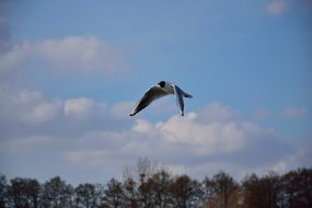 seagull hovers over the trees