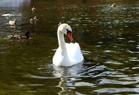 white swan and ducks in a city lake