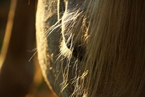 mane of a thoroughbred horse