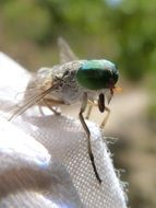 horsefly with huge green eyes