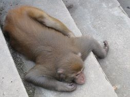 macaque lying on stairs