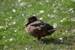 young black duck on green grass