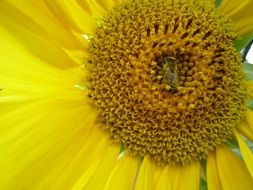 Yellow sunflower and bee