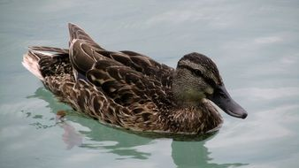 brown duck in the clear water of lake Balaton