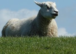 White sheep in spring field