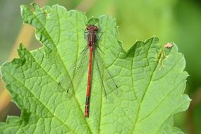 red dragonfly with transparent wings on a green leaf