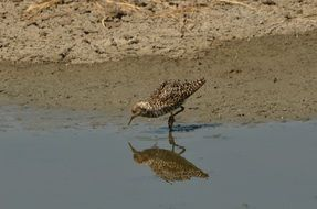 spotted brown bird reflected in water on a sunny day