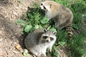 picture of the cute Raccoons