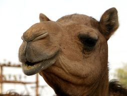 portrait of a large camel