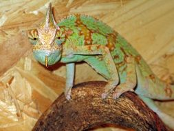 chameleon is a colorful reptile