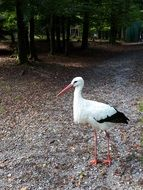 white stork on a forest path in a park