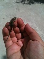 baby Lizard on the hand