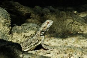 bearded lizard in rocks