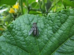 big fly on green leaf